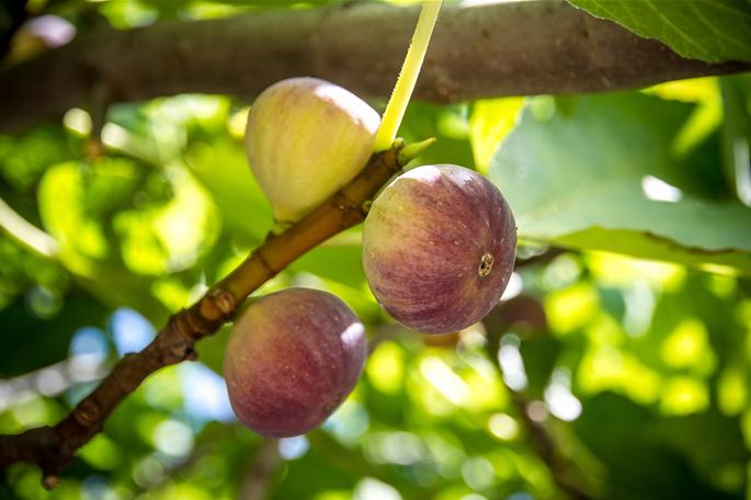 꽃이 피지 않는 과실로 불리는 무화과나무